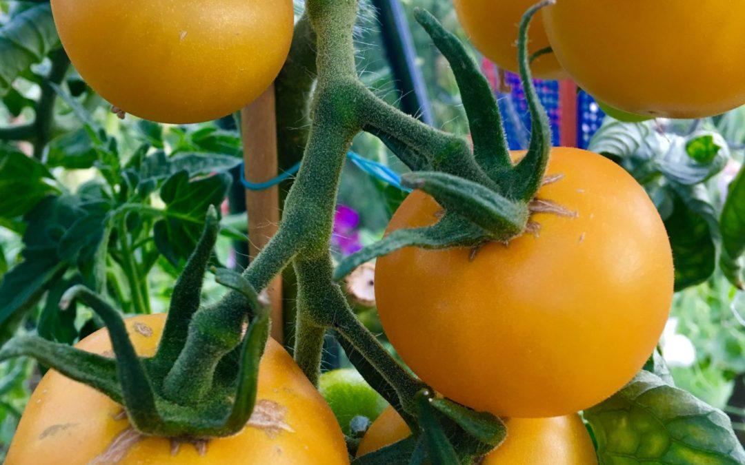 Tomatgleder