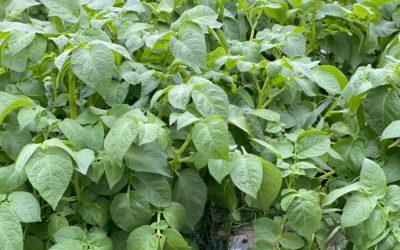 25 kg ulike grønnsakerpå 1m2 på en sesong?